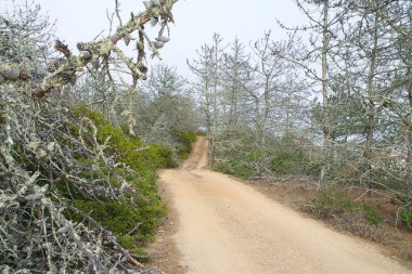 road through the Bishop pines on Santa Cruz Island