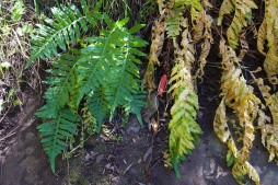 Polypodium californicum shortly before summer dormancy