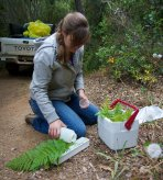 sampling ferns on Santa Cruz Island