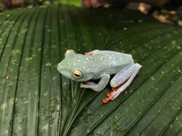 scarlet-webbed tree frog, Costa Rica