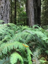 Redwoods and ferns in Eureka