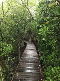 Mangrove boardwalk in Cairns, Australia