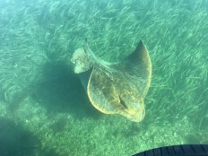 Manta ray near Narooma, NSW