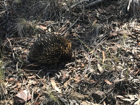 Echidna spotted on Black Mountain in Canberra, Australia