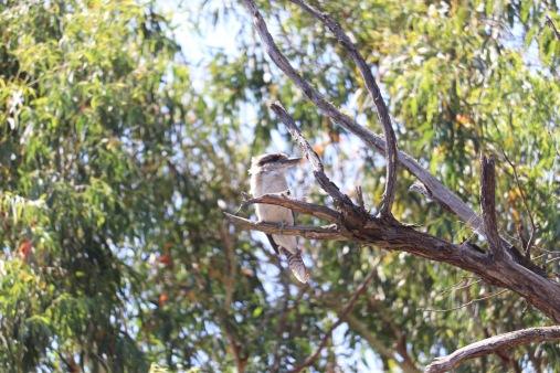 Kookaburra, Tidbinbilla Reserve