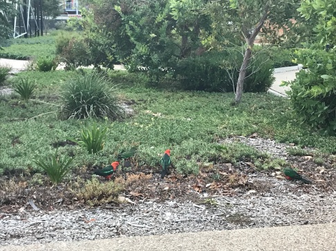 King Parrots on ANU campus