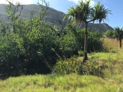 Mangrove ferns between the swamp and the Pandanus